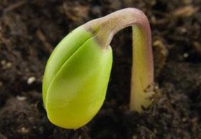 Kecambah kacang hijau