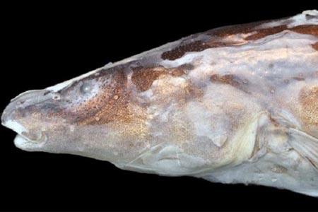 Spesies baru ikan listrik, Akawaio Penak